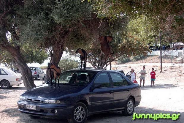 Κατσίκια Πάνω Σε Αυτοκίνητο